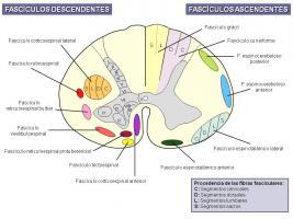 Sistematización anatómica de la médula espinal