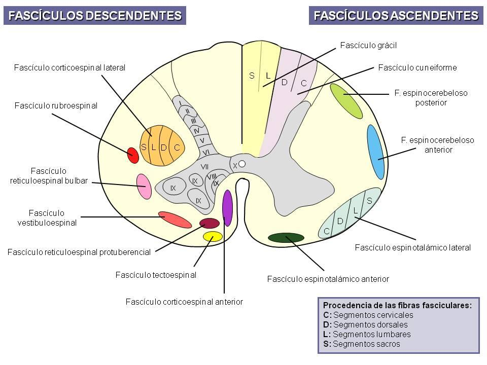 Sistematización anatómica de la médula espinal | NeuroWikia
