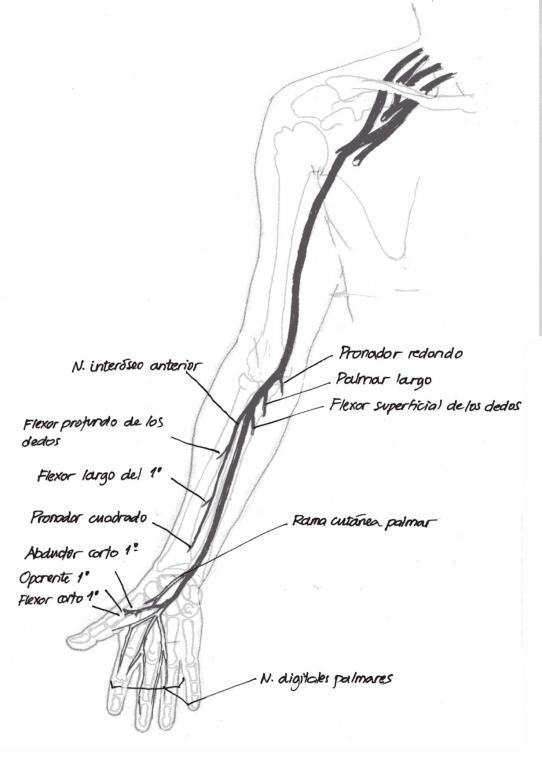 Anatomía del nervio mediano | NeuroWikia