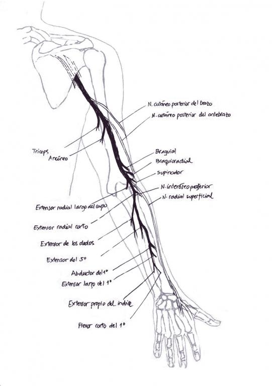 Anatomía del nervio radial | NeuroWikia