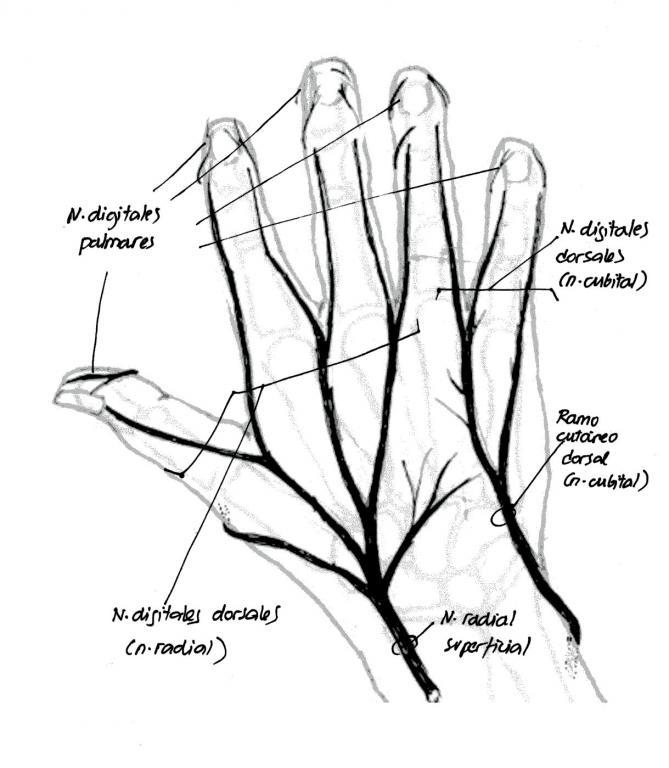 Anatomía del nervio cubital | NeuroWikia